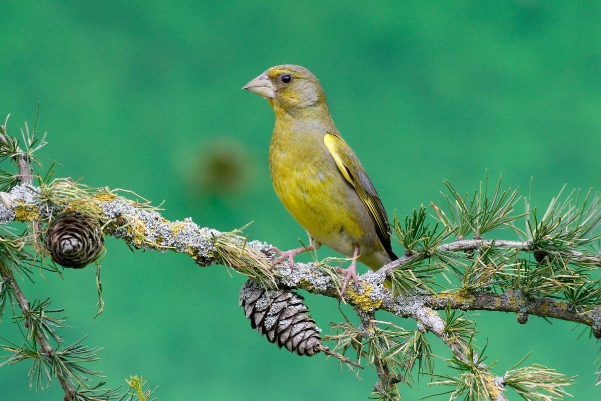 Vogelgesang: Grünfink (Carduelis chloris)