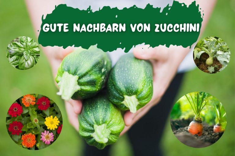 24 gute Nachbarn von Zucchini: was verträgt sich? - Titelbild