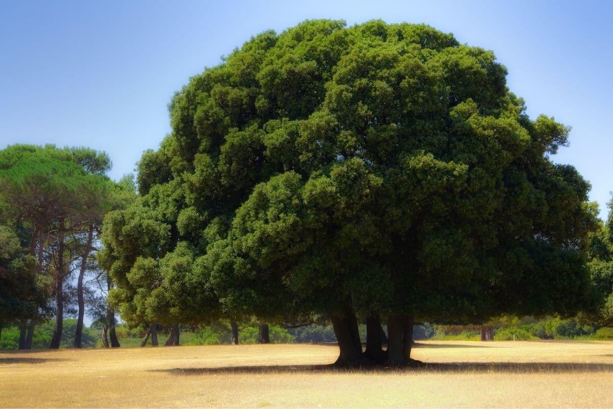 hohe Eiche (Quercus)