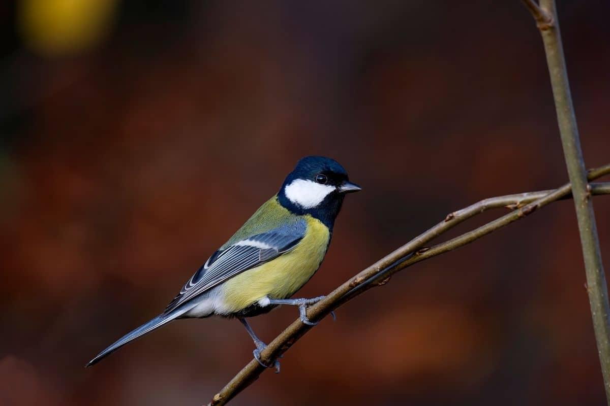 Vogelgesang: Kohlmeise (Parus major)