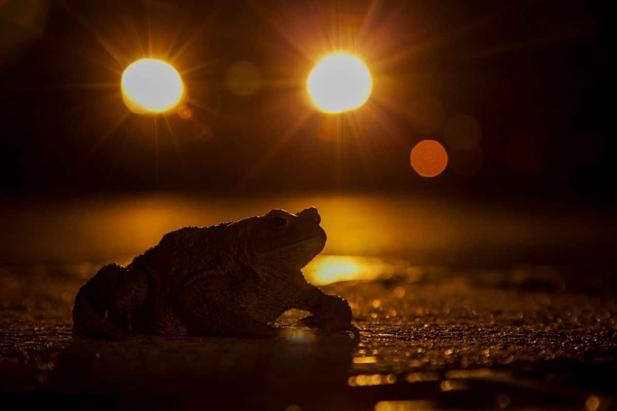 Frösche Alter Krötenwanderung nachts