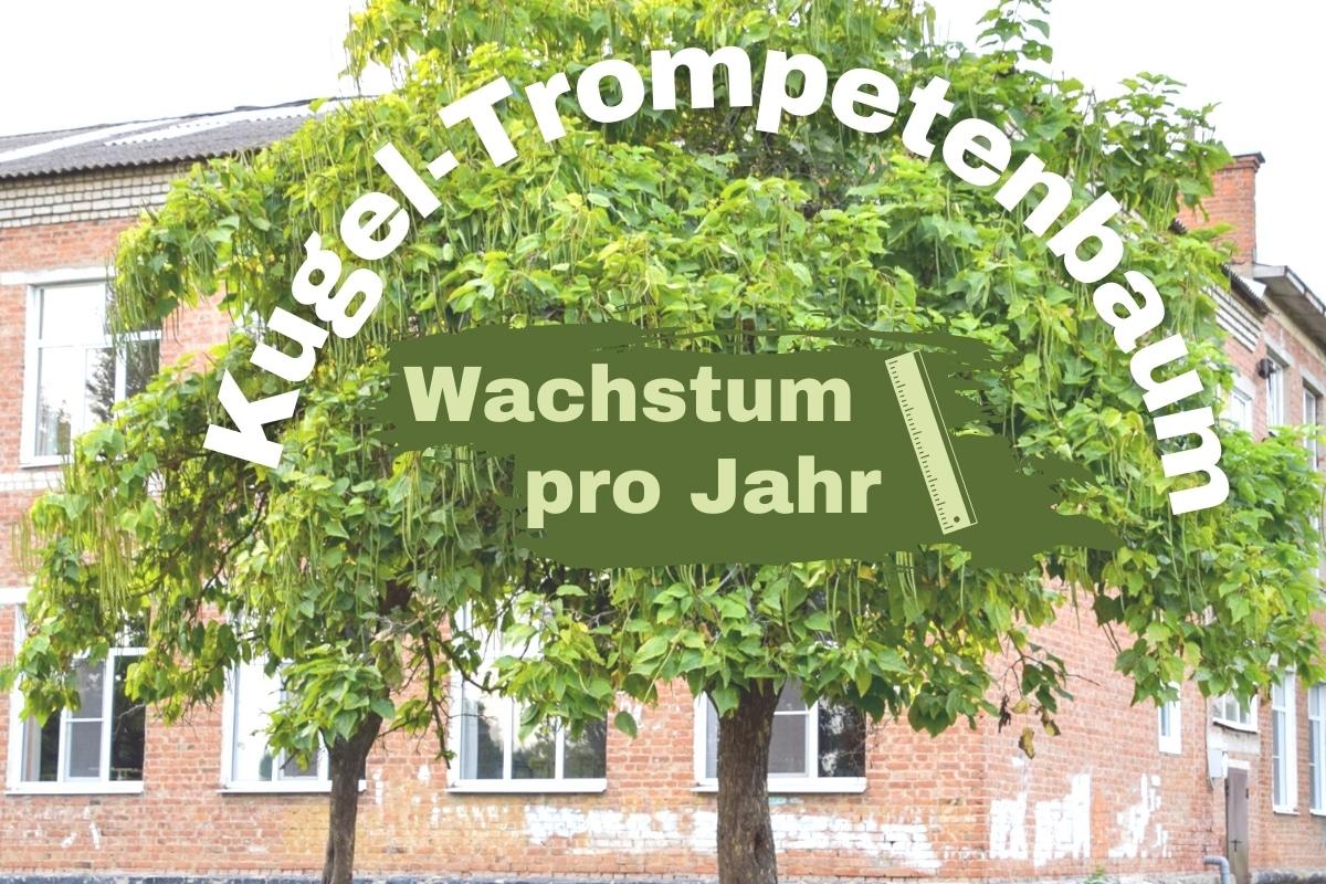 Wie viele Zentimeter wächst der Kugel-Trompetenbaum im Jahr? - Titelbild