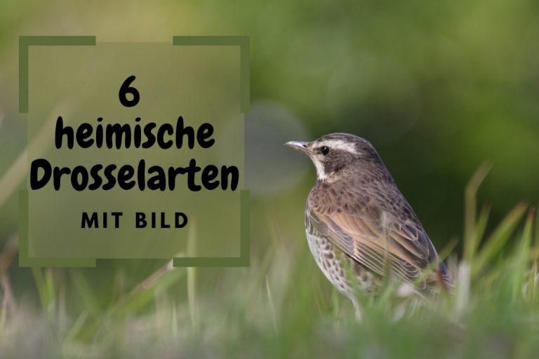 Liste: 6 heimische Drosselarten mit Bild - Titelbild