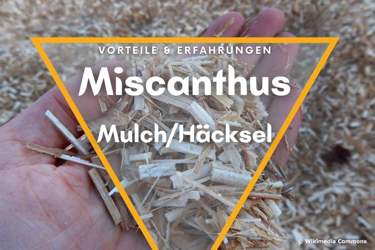 Miscanthus Mulch/Häcksel: Vorteile & Erfahrungen - Titelbild