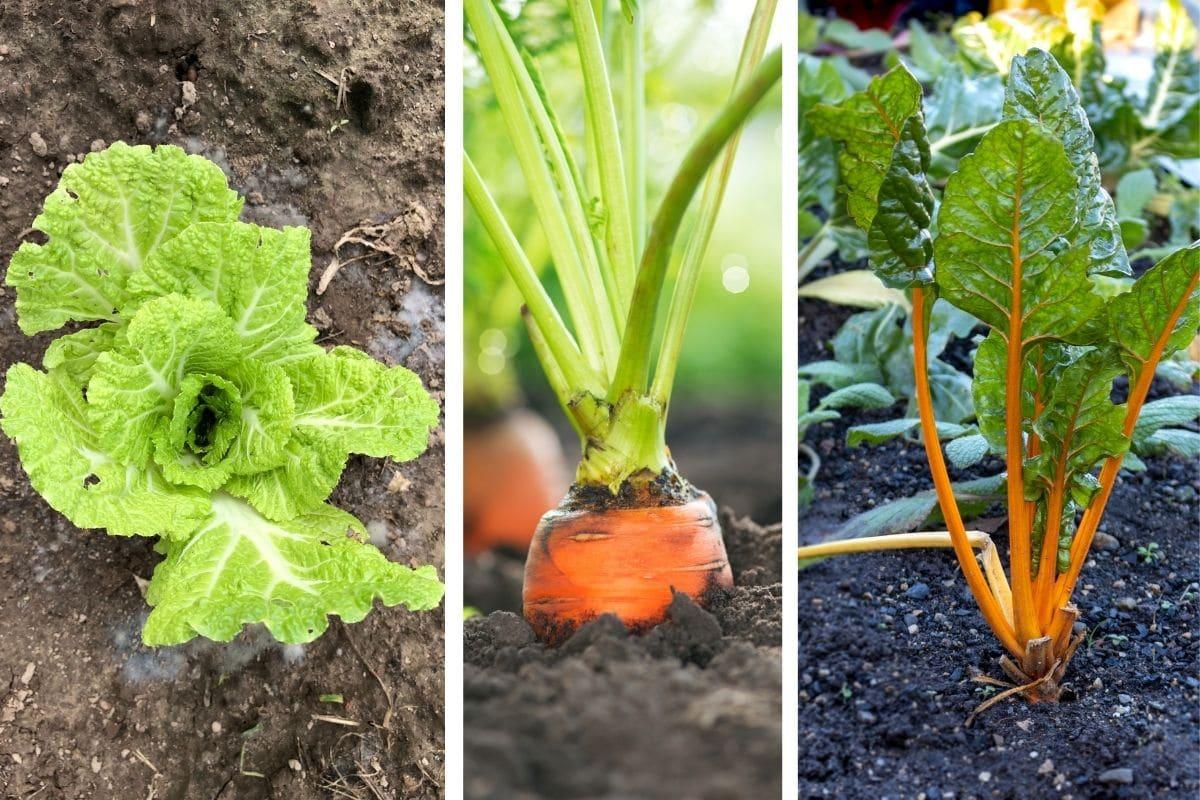 Mittelzehrer als Fruchtfolge für Kartoffeln