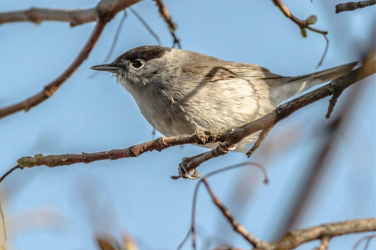 Vogelgesang: Mönchsgrasmücke (Sylvia atricapilla)
