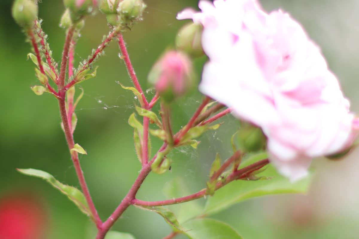 Pflanzen-Schadbild: klebrig, weißlicher Honigtau an Pflanzenteilen