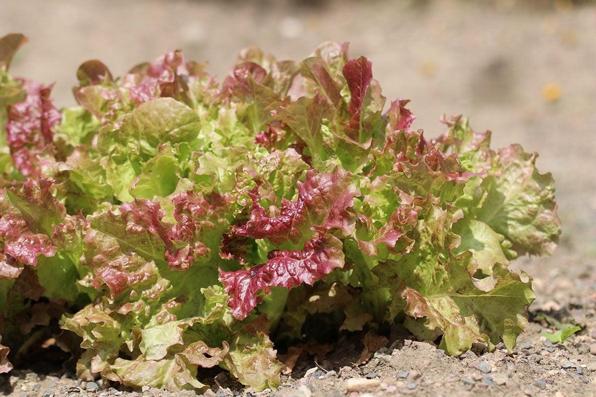 Pflücksalat (Lactuca sativavar. crispa)