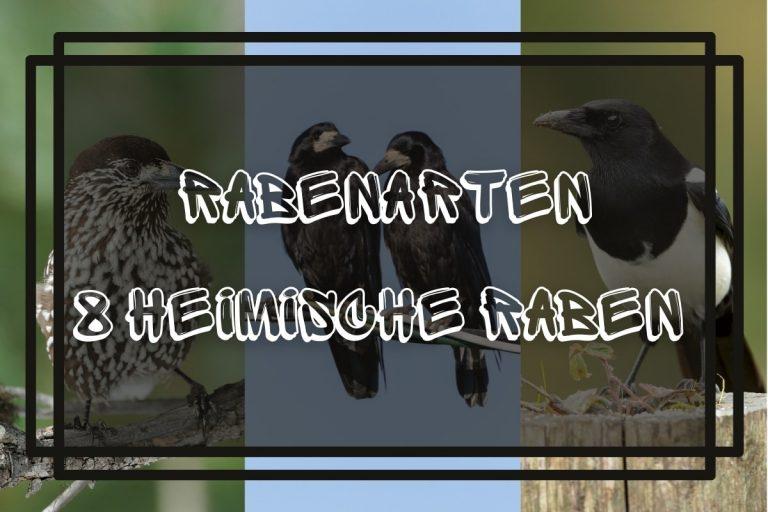 Rabenvögel 8 heimische Rabenarten mit Bild - Titelbild