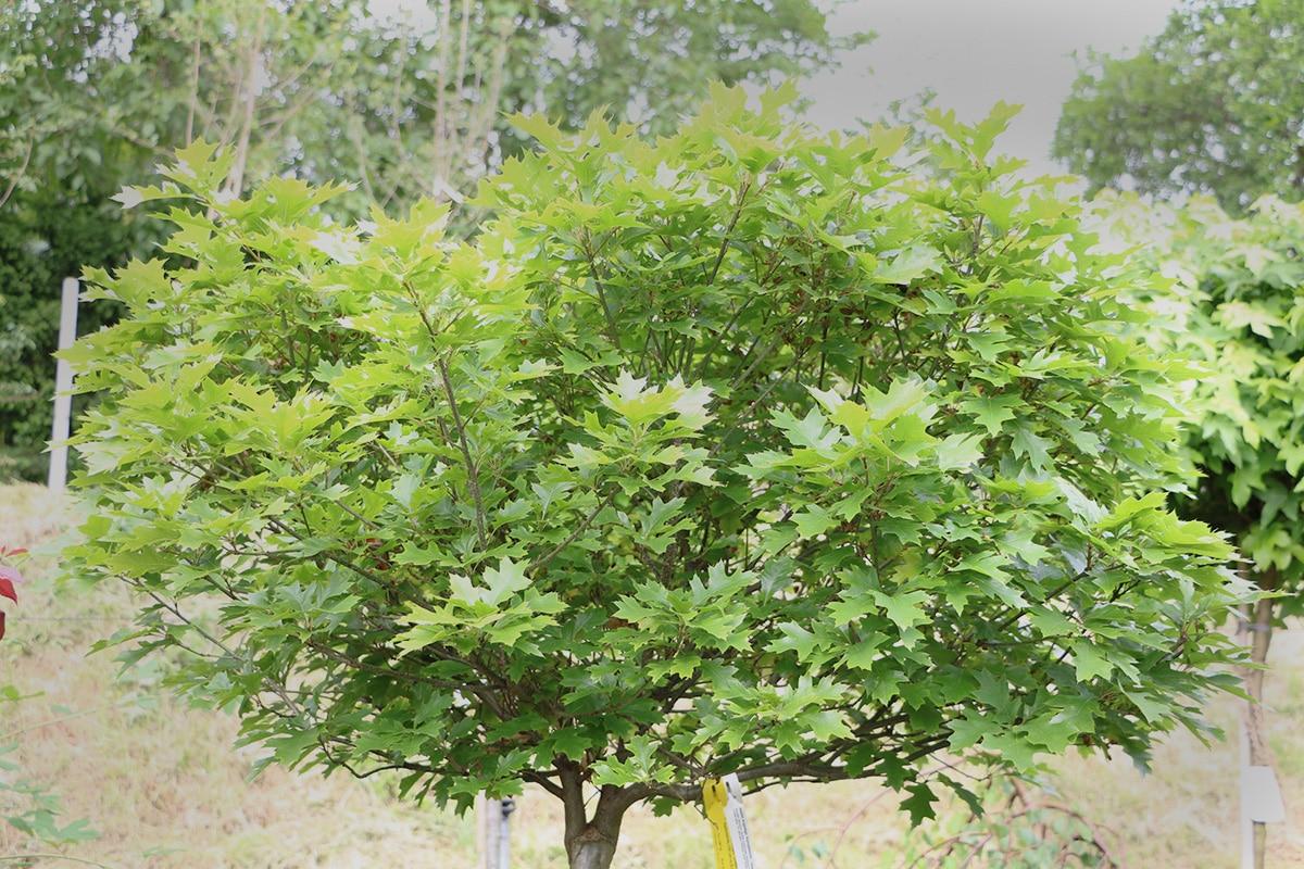 Sumpf-Eiche (Quercus palustris Münchh.) wächst