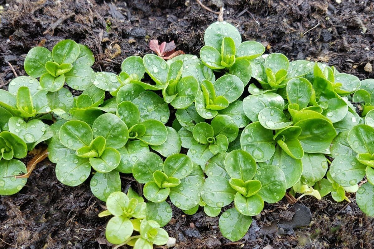 Gemüse mit V: Valerianella locusta