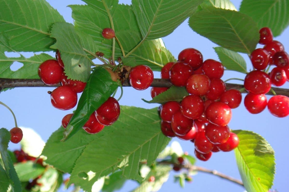Obst mit V: Prunus avium