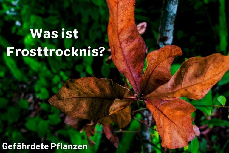 Was ist Frosttrocknis? Gefährdete Pflanzen - Titelbild