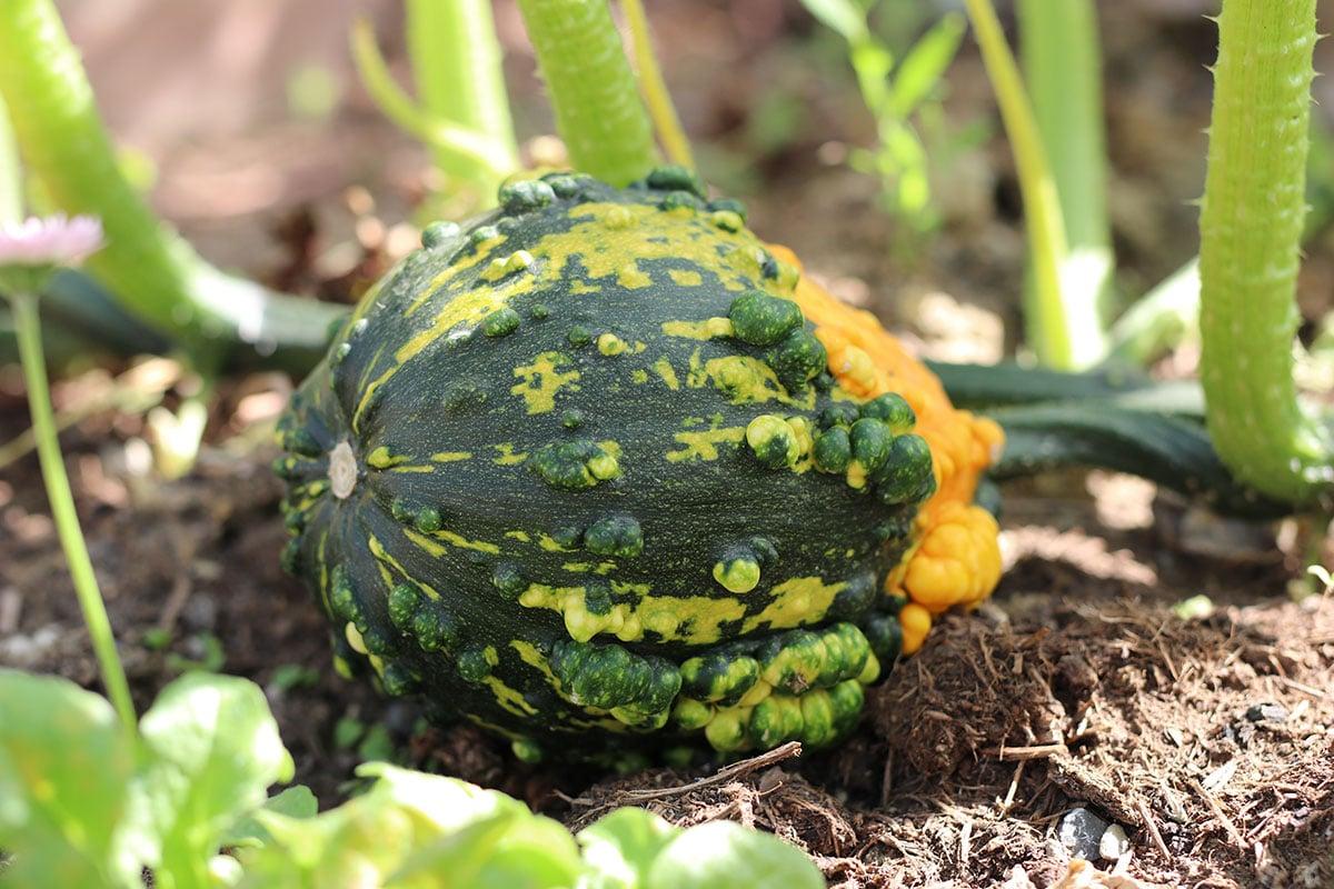 Zierkürbis (Cucurbita pepo)
