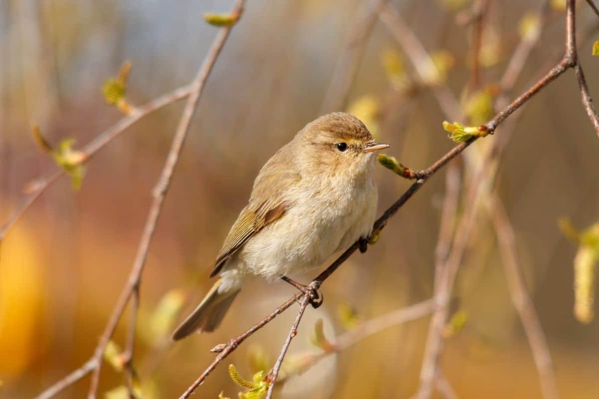 Vogelgesang: Zilpzalp (Phylloscopus collybita)
