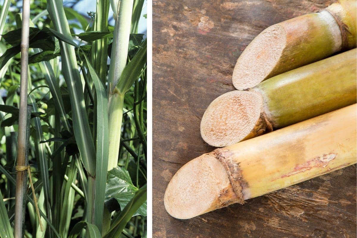 Zuckerrohr (Saccharum officinarum)