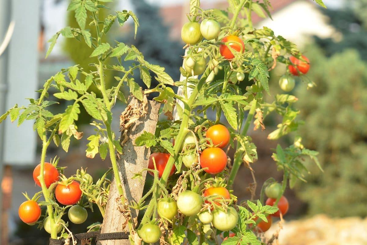 Zwergtomaten (Solanum lycop.)