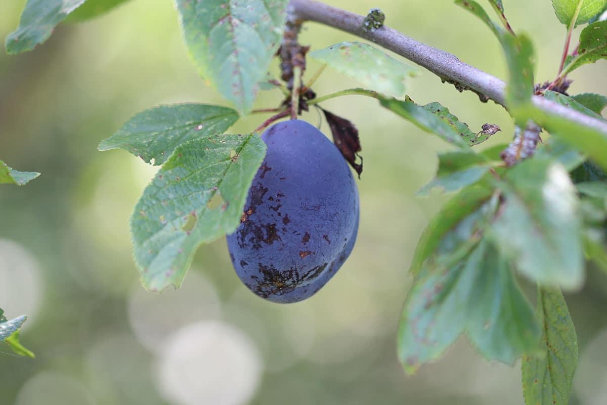 Obst mit Z: Zwetschge