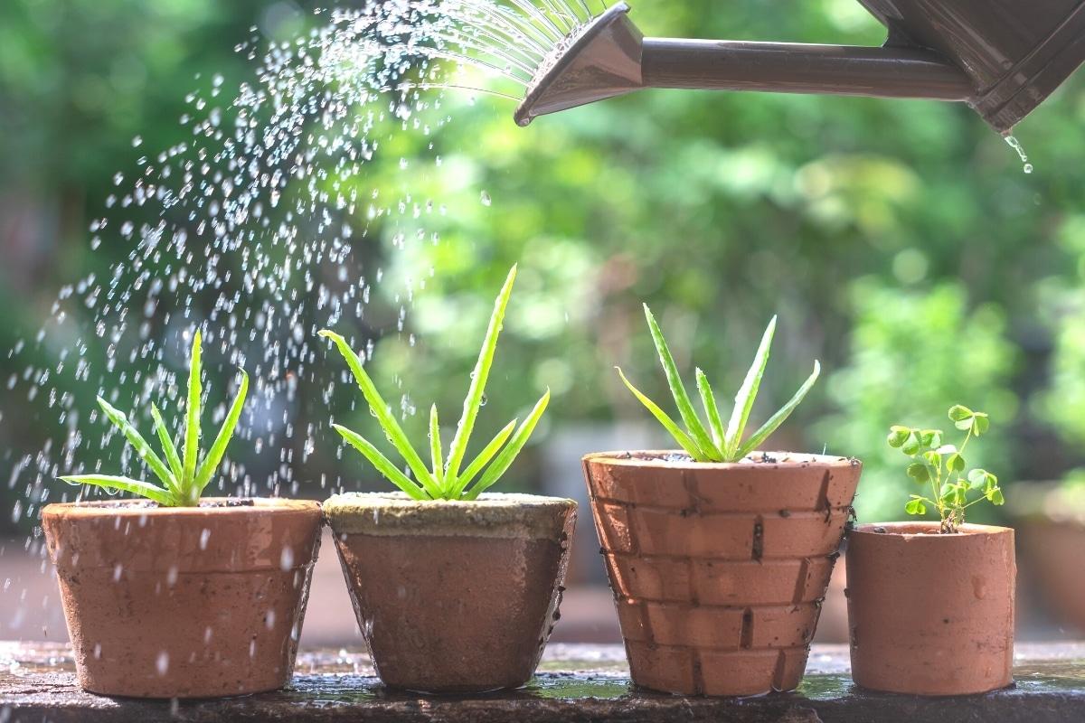 Aloe Vera Pflanzen gießen