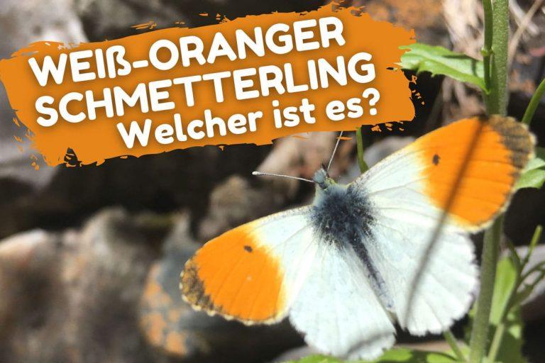 Weiß-oranger Schmetterling - Aurorafalter