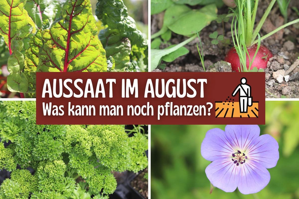 Aussaat im August - Mangold, Petersilie, Radieschen, Storchschnabel