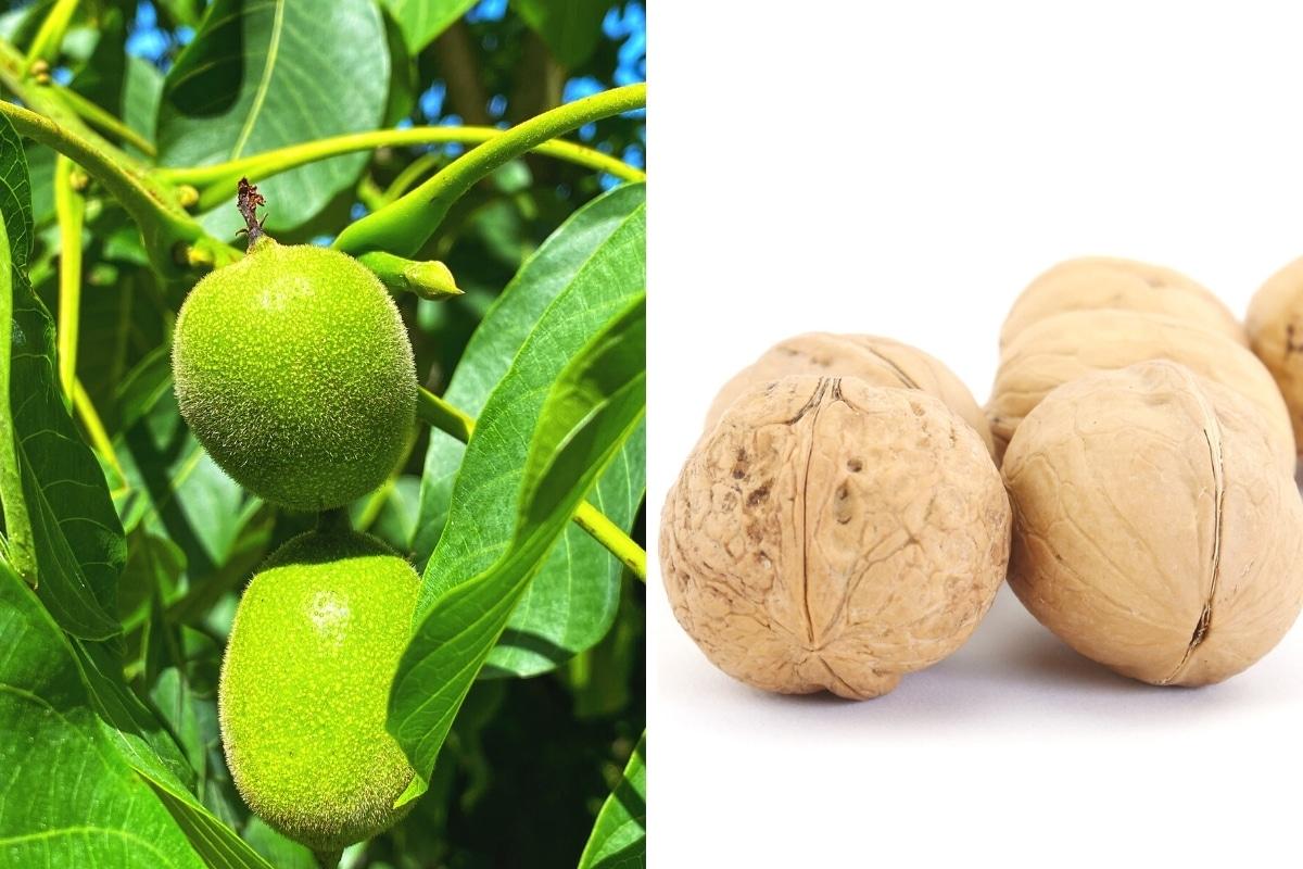 Baumnuss am Baum und als reife Frucht