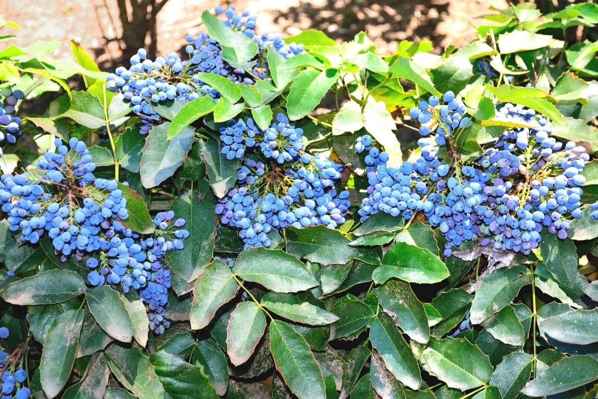 Mahonie mit blauen Beeren
