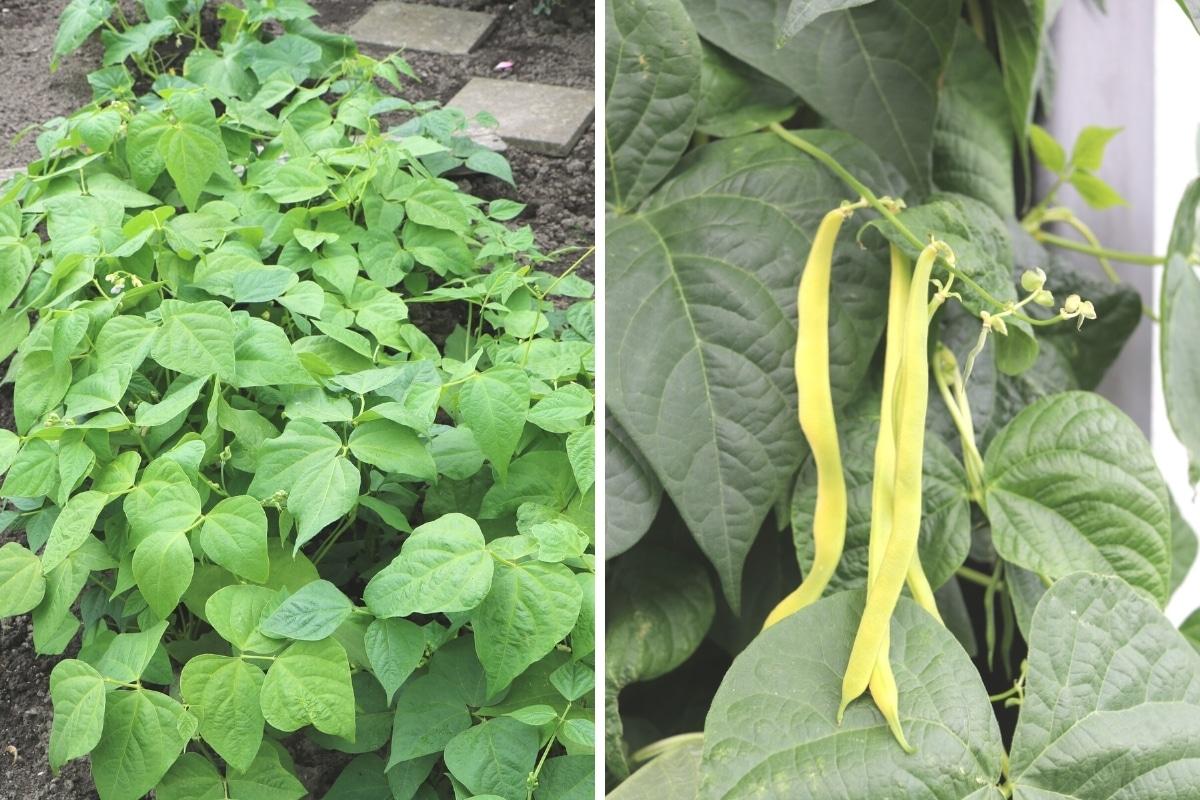 Buschbohnen Pflanze und Frucht