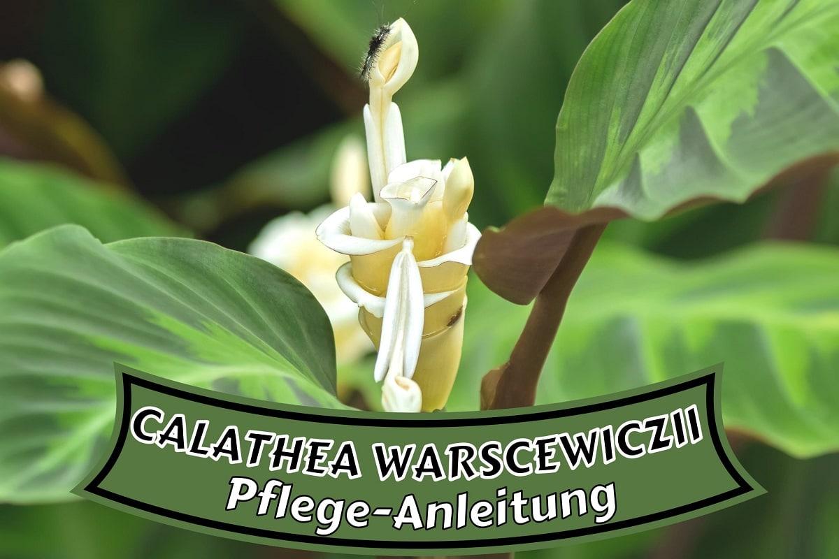 Calathea warscewiczii