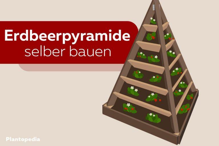 Erdbeerpyramide bauen