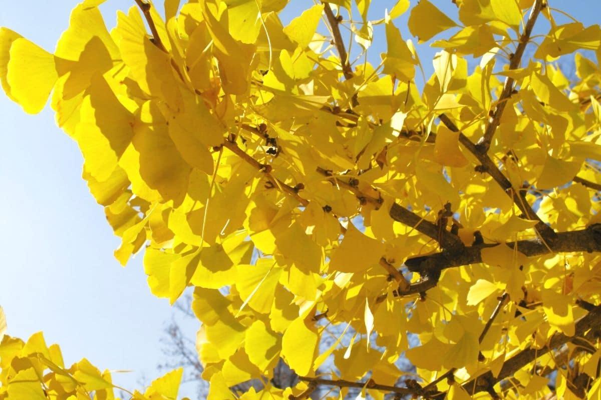 Fächerblattbaum im Herbst