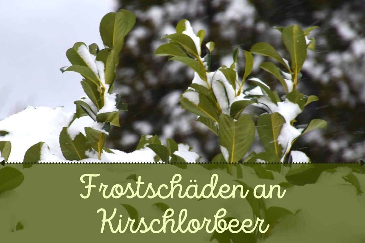 Frostschäden am Kirschlorbeer - Titel