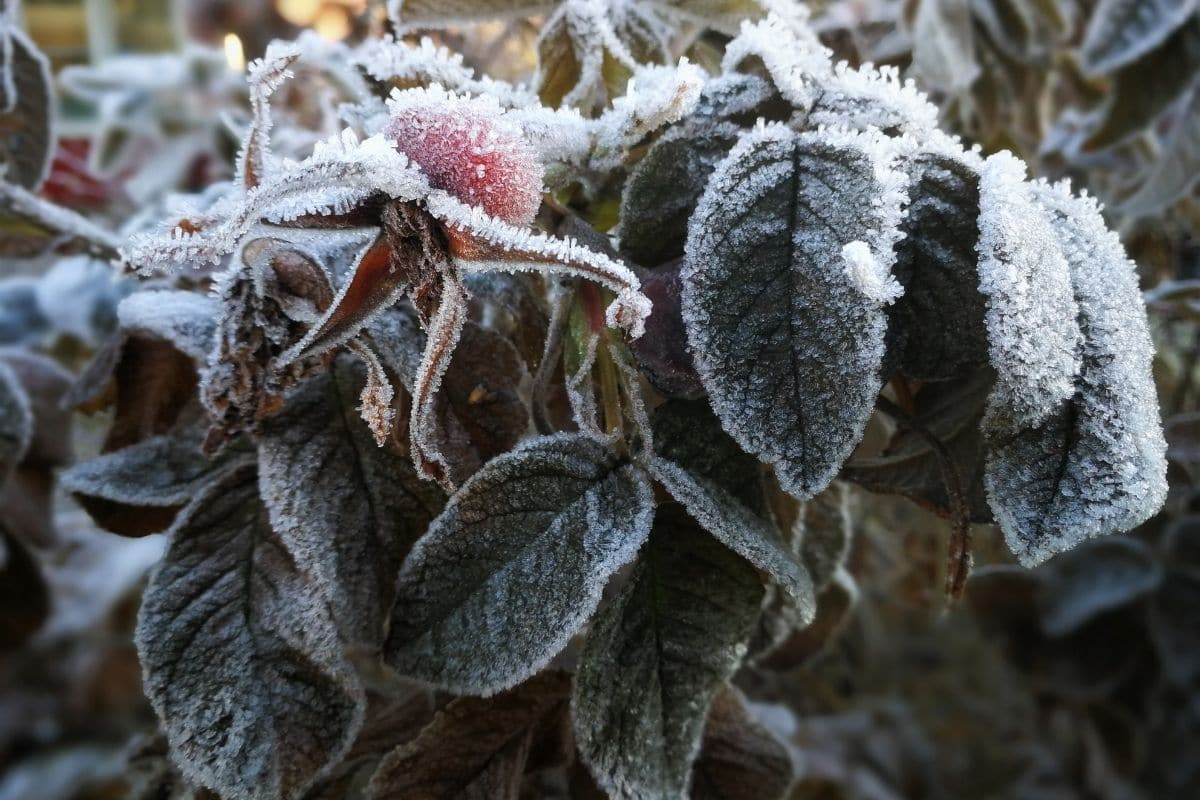 gefrorene Pflanze im Winter