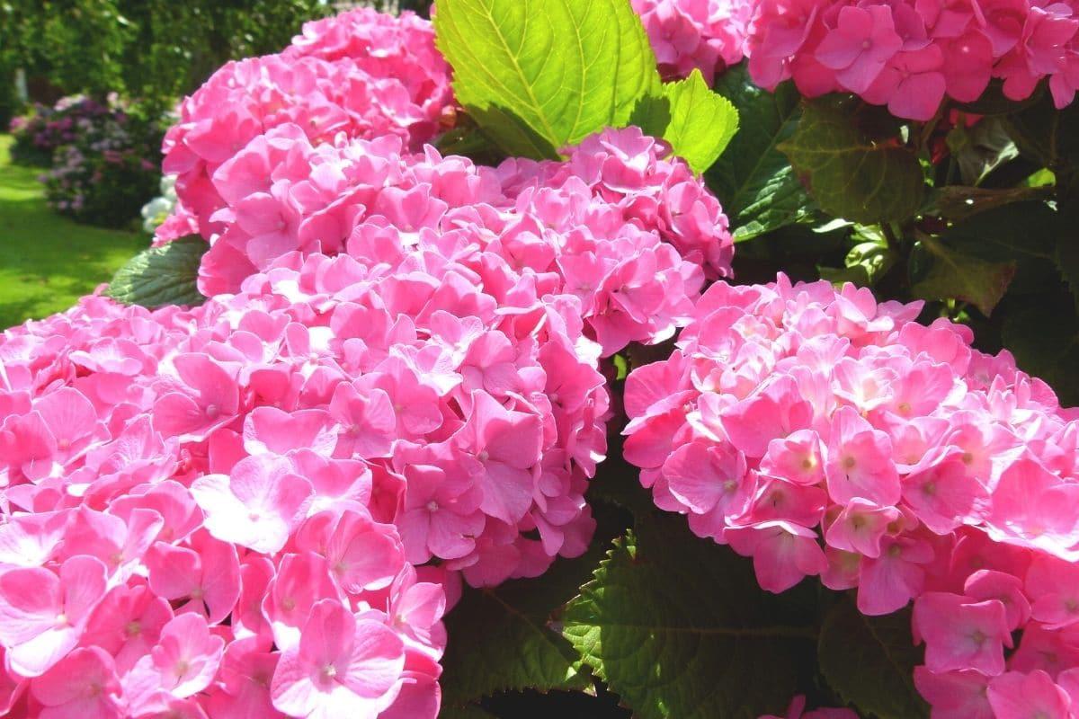pinke Blüten der Hortensie