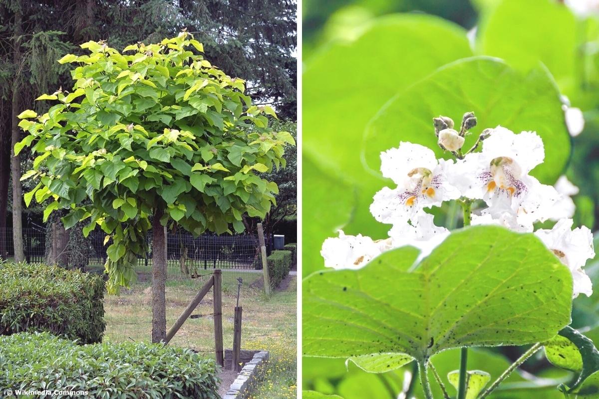 Kugel-Trompetenbaum und Blüten