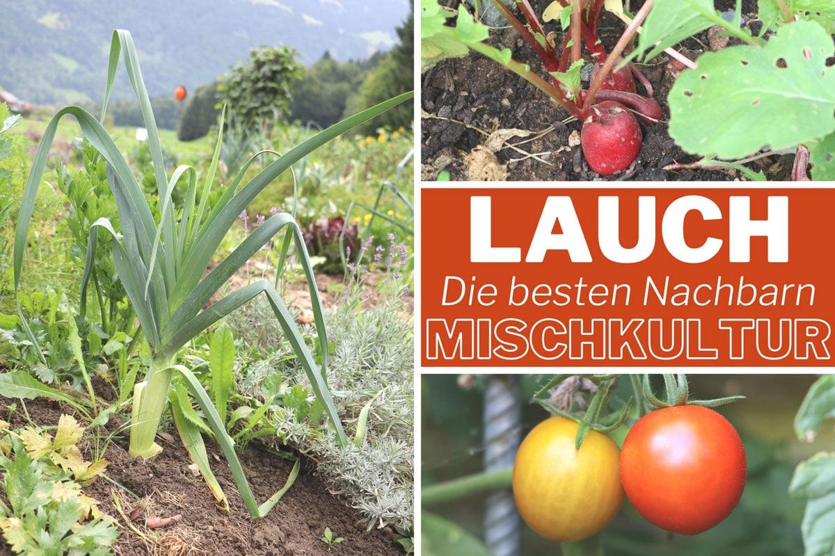 Gute Nachbarn für Lauch - Radieschen und Tomaten