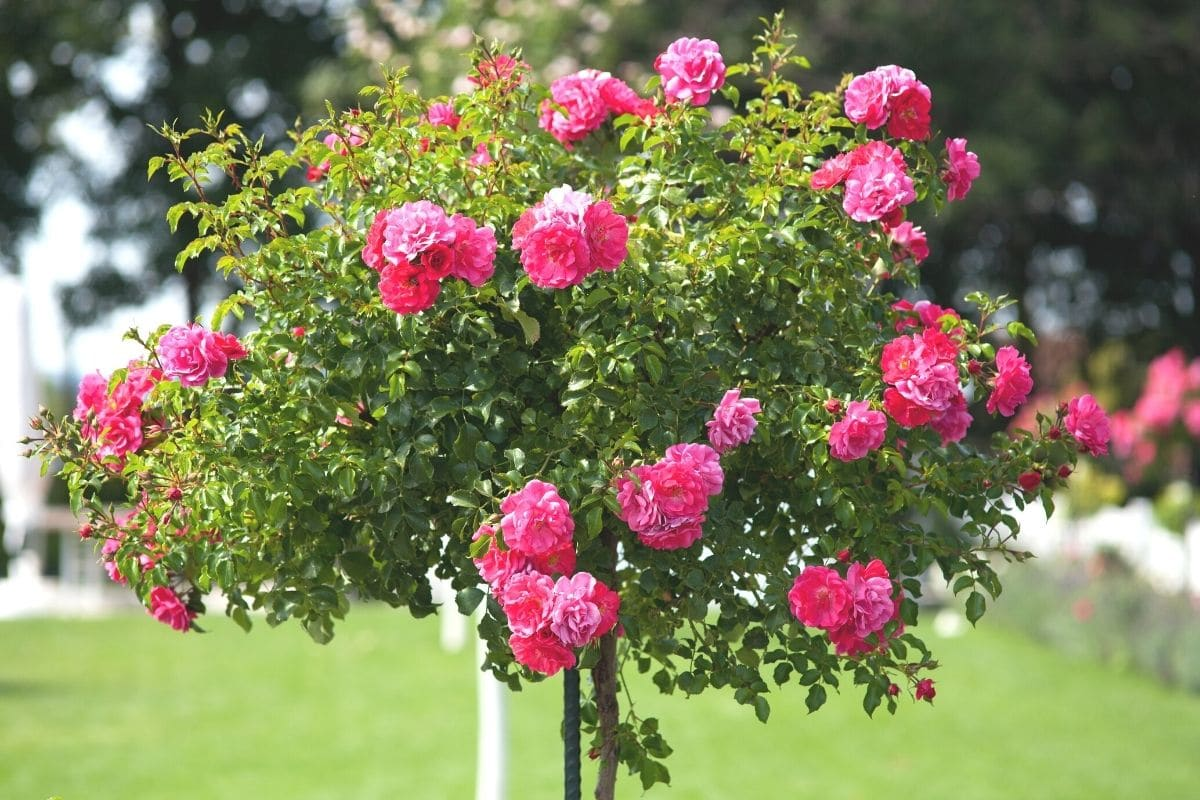 Rosen als winterhartes Hochstämmchen