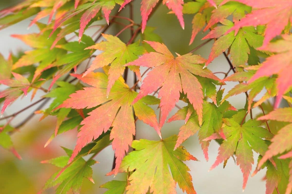 japanischer Schlitzahorn im Herbst