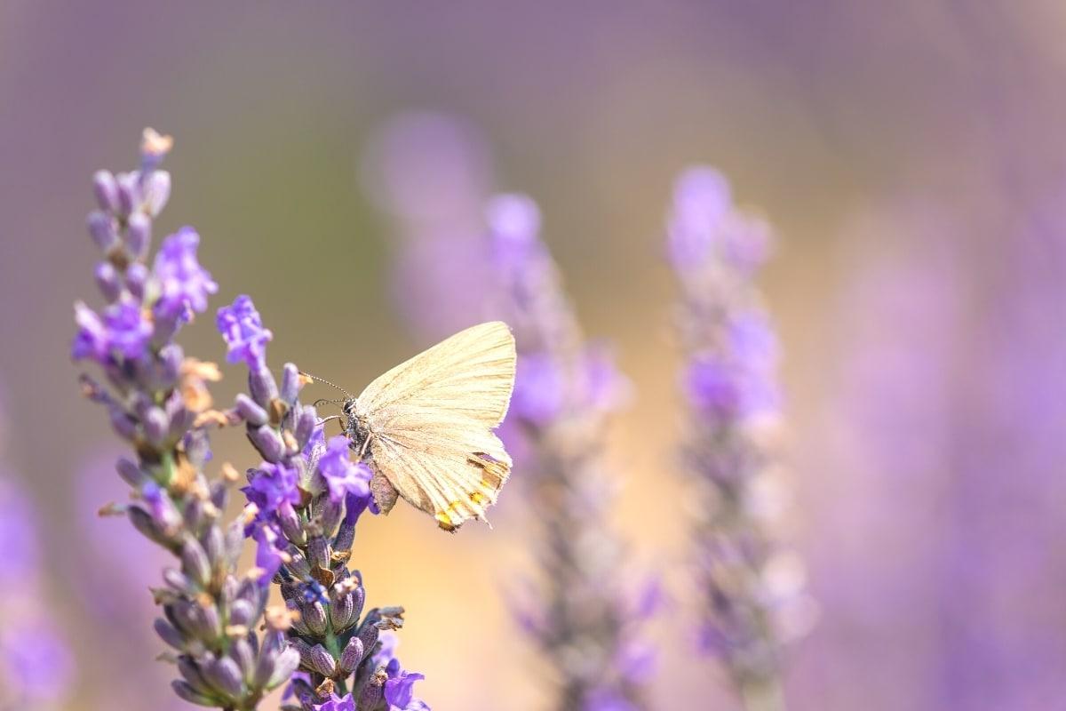 weißer Schmetterling auf Lavendelblüte