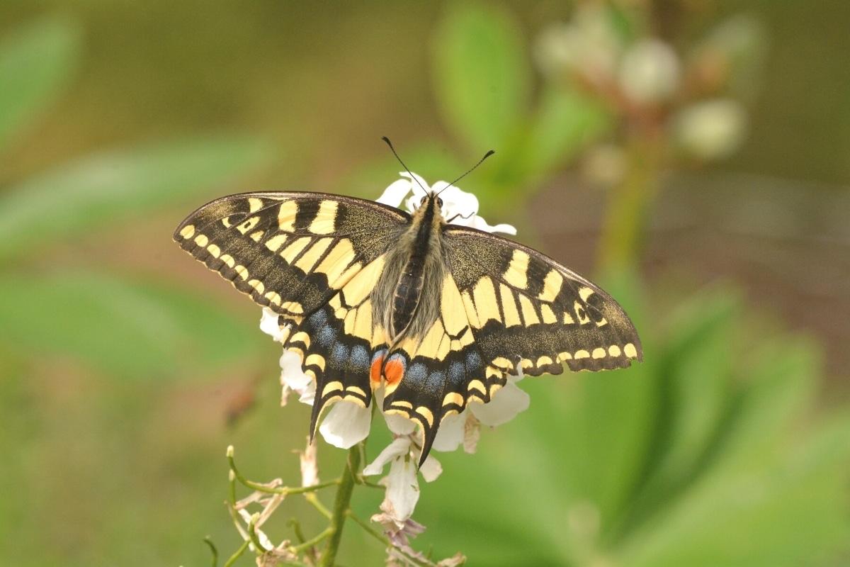 Schwalbenschwanz mit aufgeklappten Flügeln