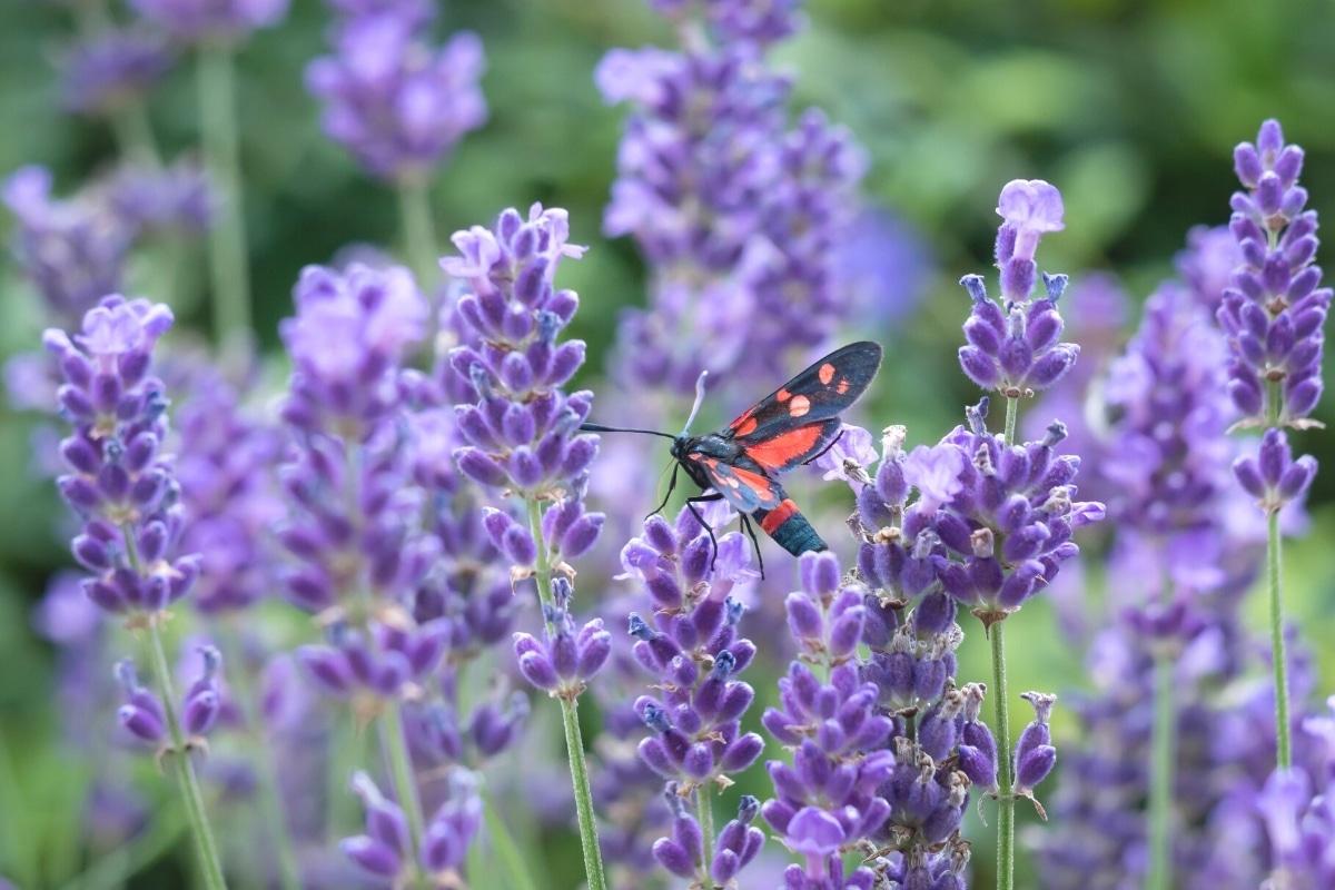Sechsfleck-Widderchen in Lavendelbusch