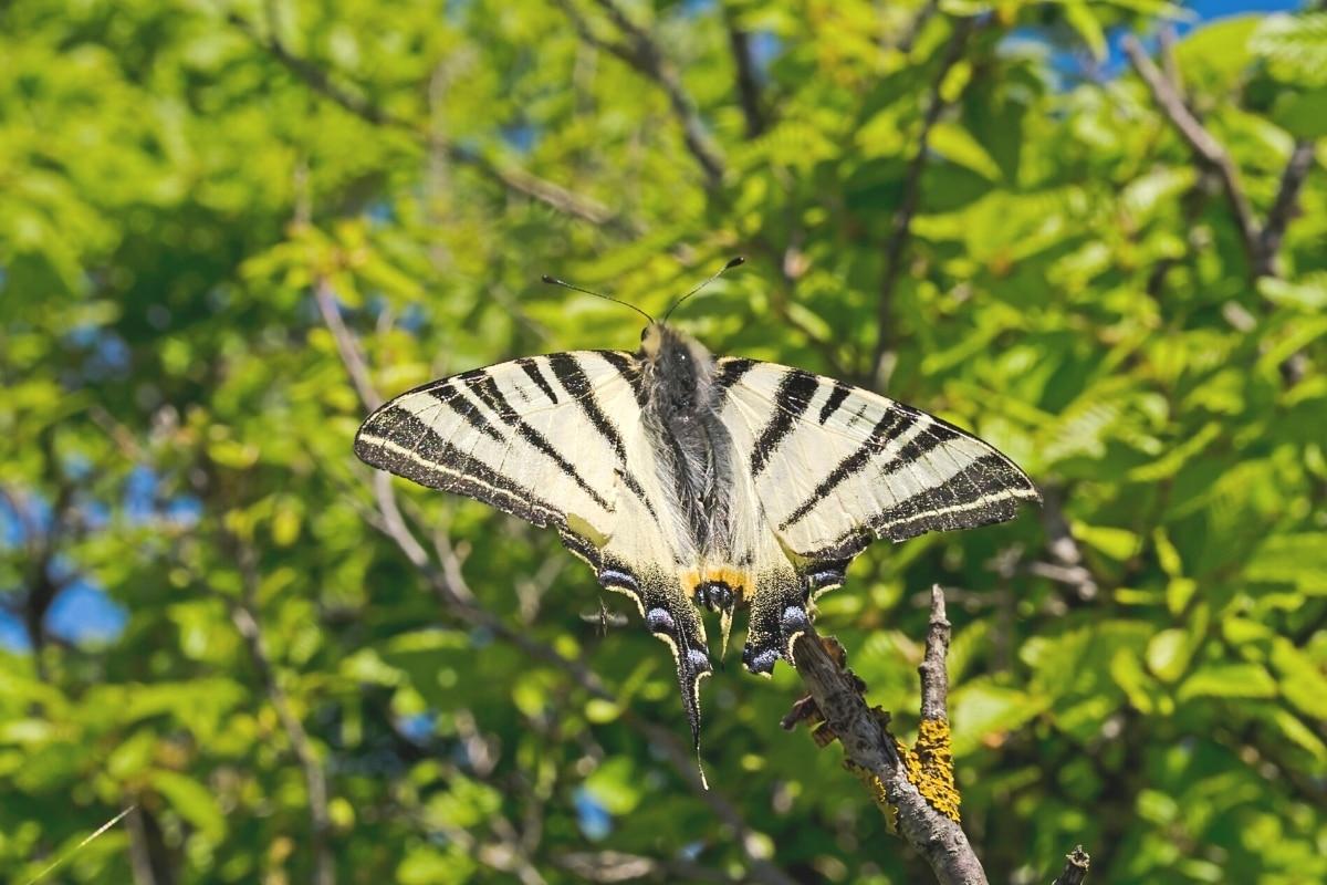 Segelfalter fliegt