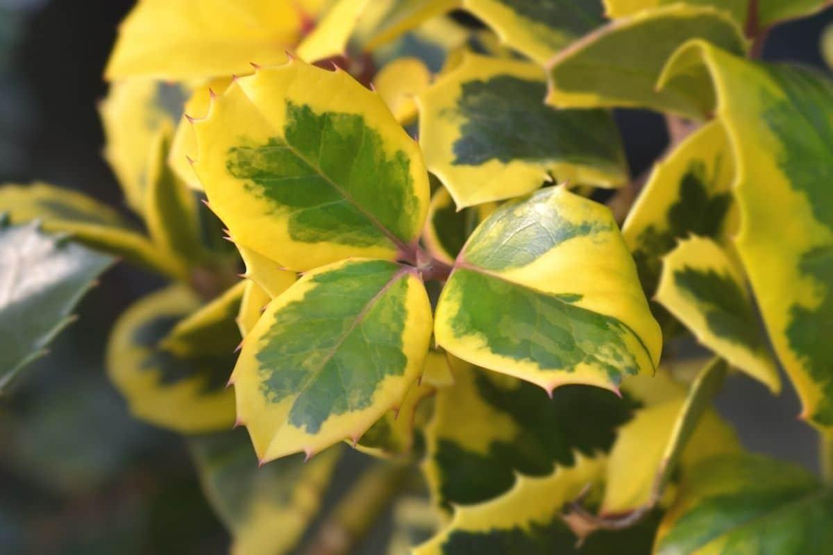 Stechpalme mit gold-grünen Blättern