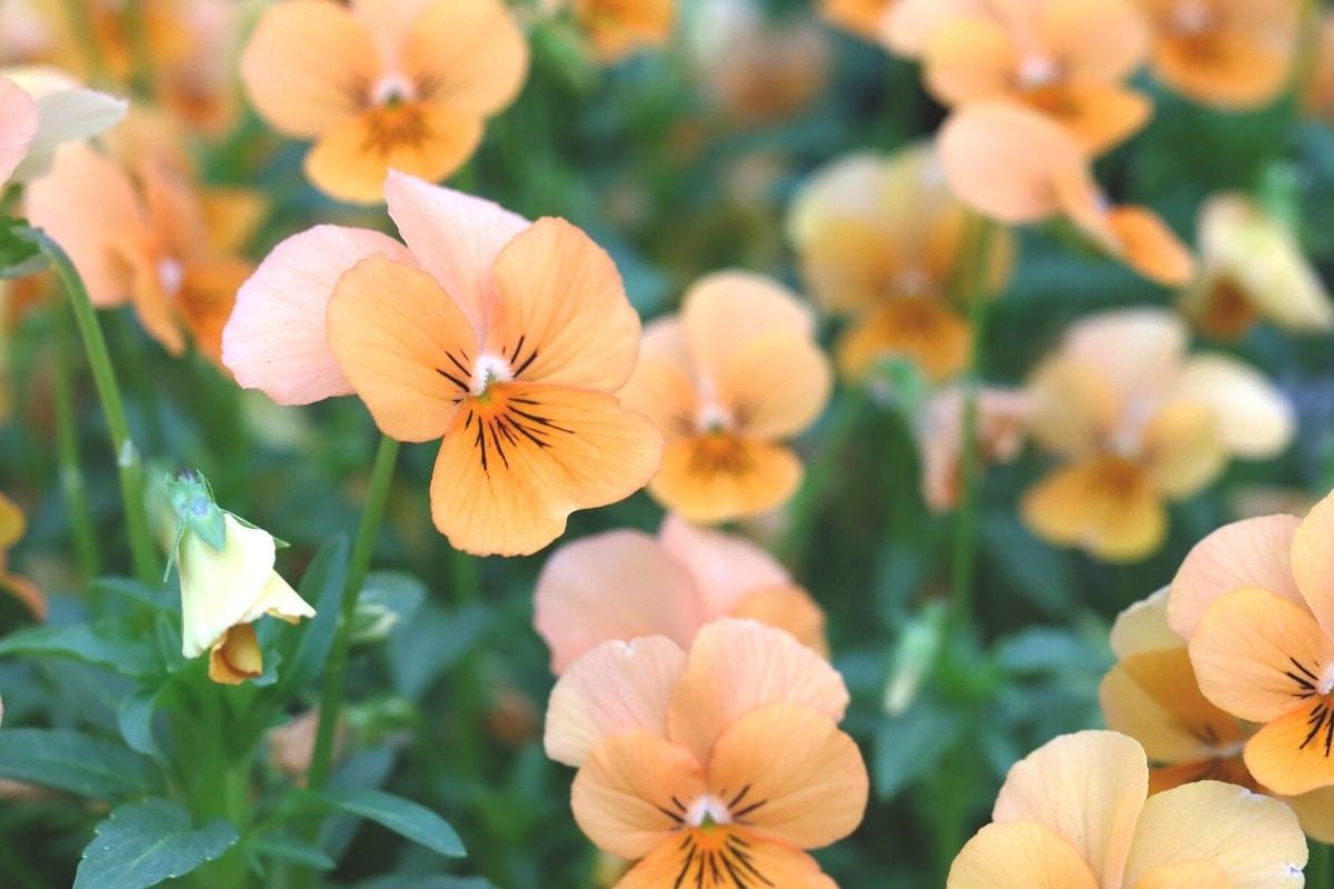 orange Stiefmütterchen