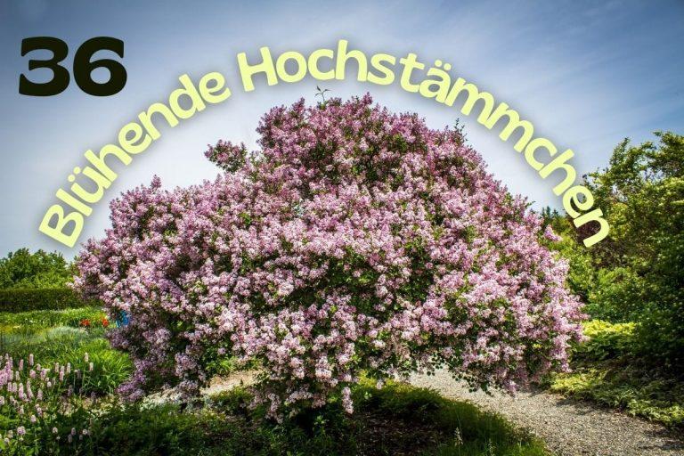 Blühende Hochstämmchen - Titel