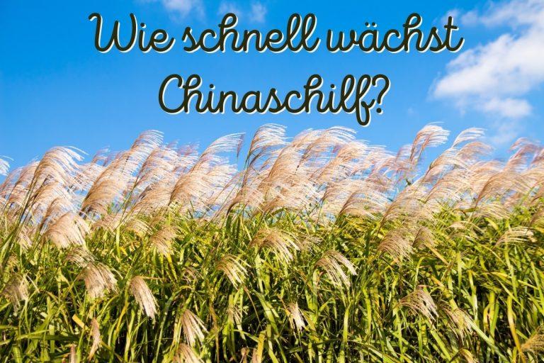 Chinaschilf Wachstum - Titel