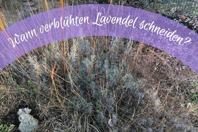 Lavendel schneiden - Titel