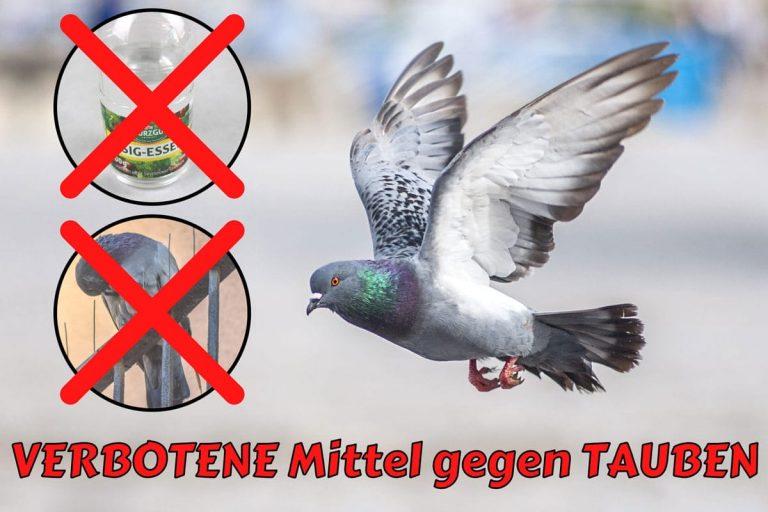 Verbotene Mittel gegen Tauben - Essig und Spikes
