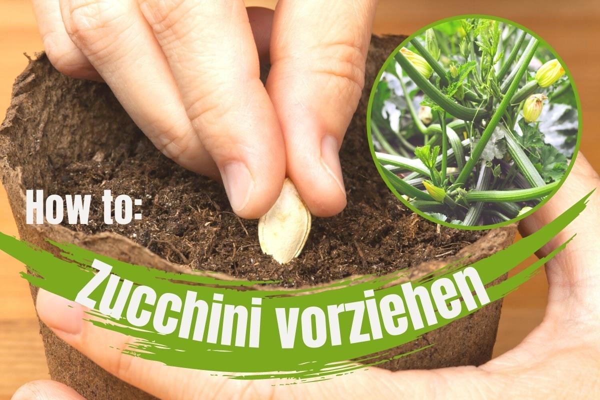 Wie zieht man Zucchini vor?