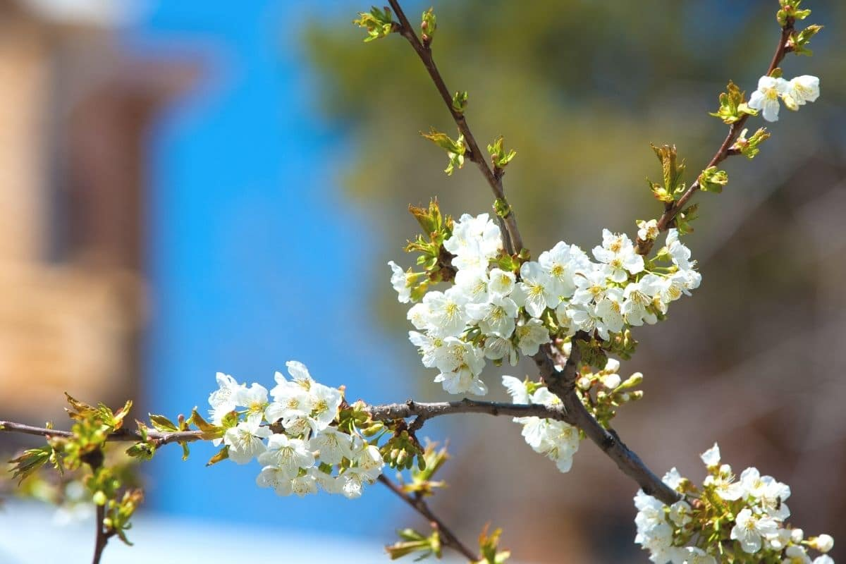 Apfelbaum als winterhartes Hochstämmchen